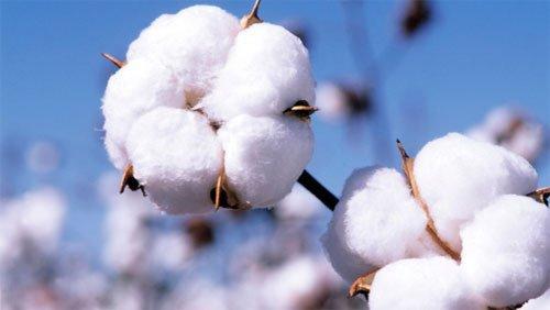 疫情棉花期货跌停